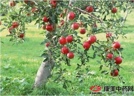 云南昆明苹果树下种药材