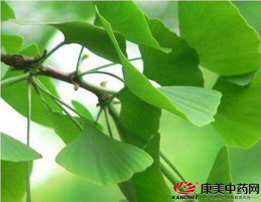 小小树叶有七大价值,种植银杏叶每吨赚百万