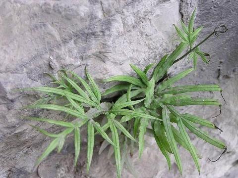 长在石头缝里的野草,能清热解毒,治感冒发烧