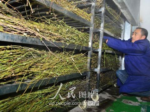 贵州剑河:冬闲钩藤采收忙