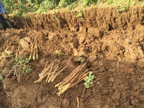 这种植物横着种,竖着长,一亩种植成本五千多,收入能近三万