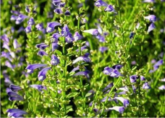 四月适宜种植哪些中药材?