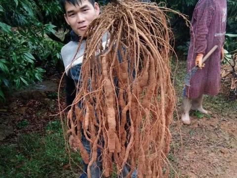 """挖到就是赚到,吃了这种树根能长力气,人称""""大力薯"""""""