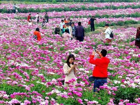 四川中江万亩芍药花开遍野 喜迎八方游客