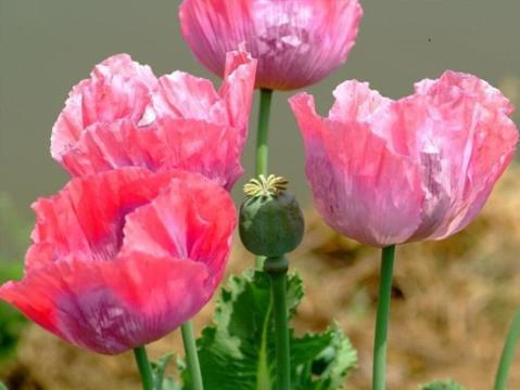 """农村种啥花草都种不得这种""""花"""",你猜到了吗?"""