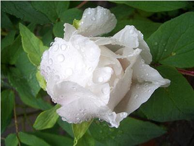 白芍栽培与采收的正确操作技巧