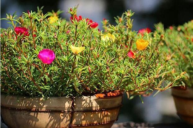 半枝莲的盆栽种植方法与花期