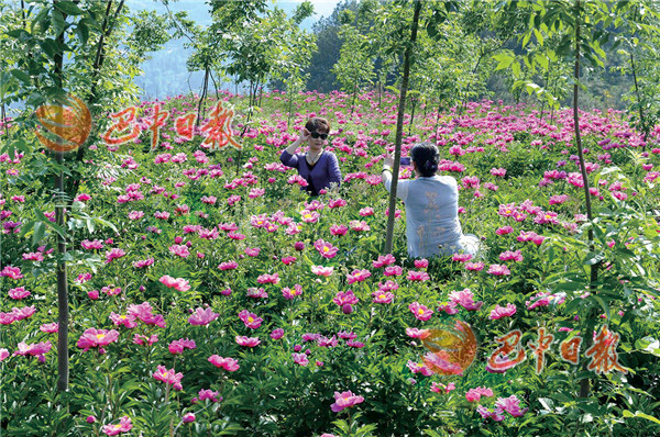 四川省巴中市平昌县青凤镇万亩芍药园里,游客拍照留念