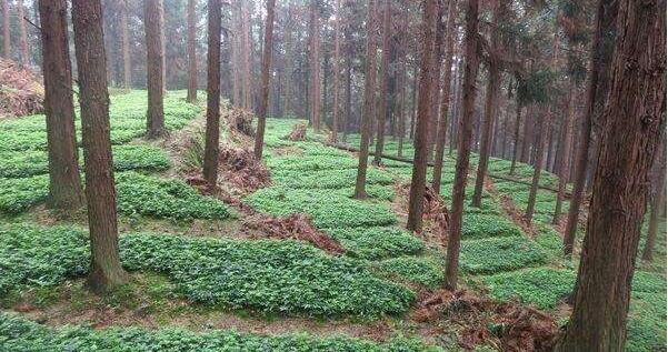 林下套种这四种药材,促进双丰收