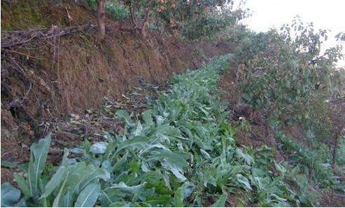 推荐4种比较经济型的林下药材种植,促进双丰收