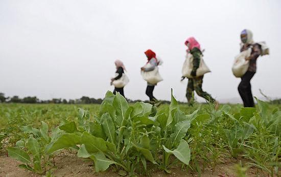 夏季,中药材病虫害防治要注重
