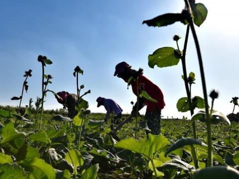 赵域:发展中药材种植带动群众致富