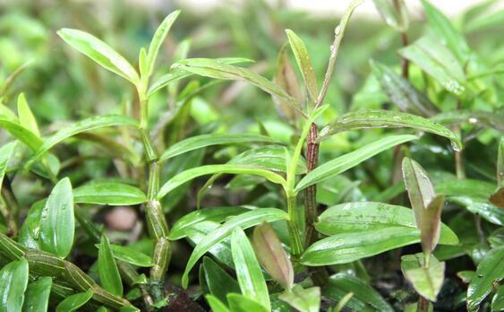 网络配图:石斛种植图片