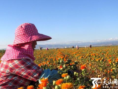 裕民县山前平原红花进入采花期