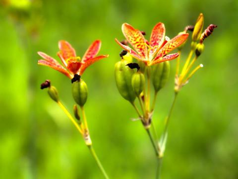 湖北秭归:有一片斑纹红花美丽绽放,价格低,药材变成观赏植物