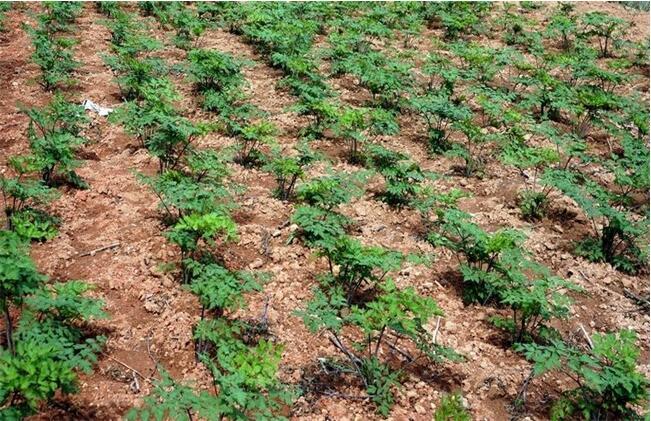 当归的种植生长条件及注意问题