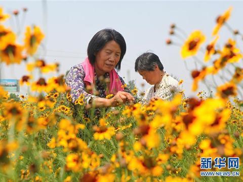 河北邯郸:特色菊花种植铺就脱贫路