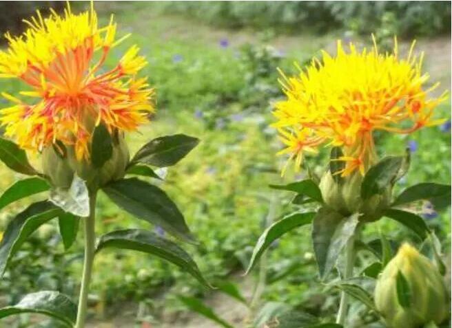 红花与薏苡的套种经济效益高