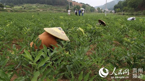 贵州玉屏:6000亩中药材种植助推乡村振兴
