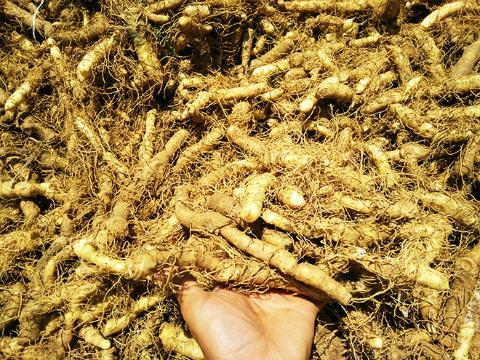 湖南隆回:玉竹长得俏 有零星采挖