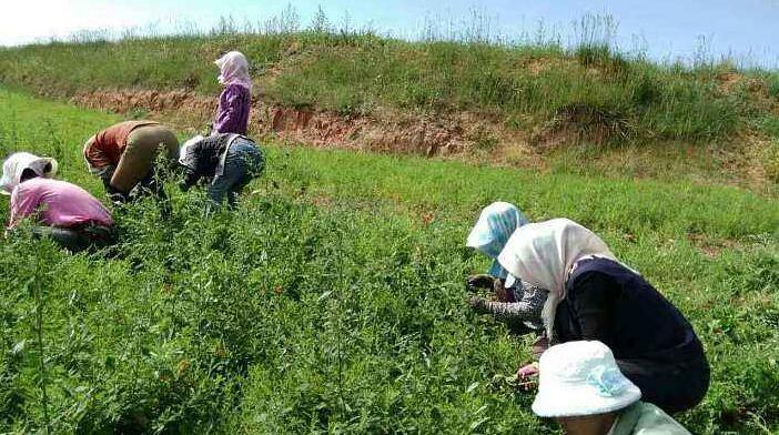 苦参的种植效益分析和栽培技术方法