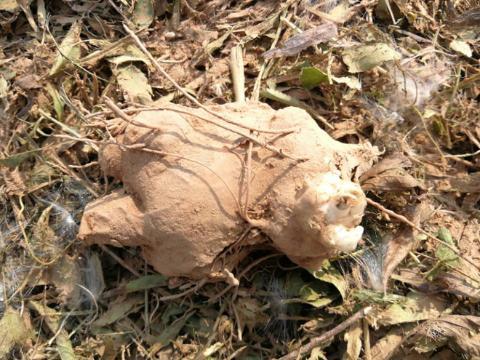 亳州十八里镇腰王村白术开始采挖