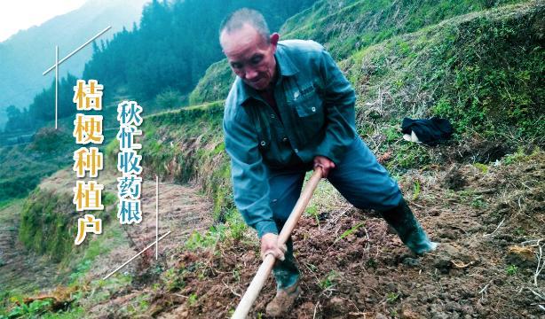 桔梗种植户秋忙收药根