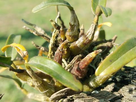 种在梨树上的仙草——霍山米斛