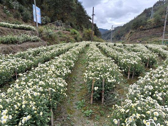 熊市下的地产药材——下滑的安徽贡菊花
