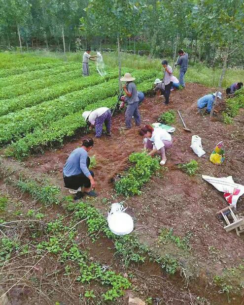 南部山区探索农业产业调整,在5村试点中草药种植