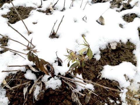 雪后探访湖北郧西县,南苍术是否受到影响?