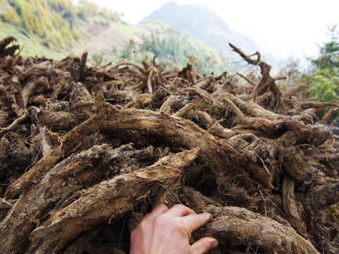 重庆市巫溪县田坝镇木香采挖加工繁忙