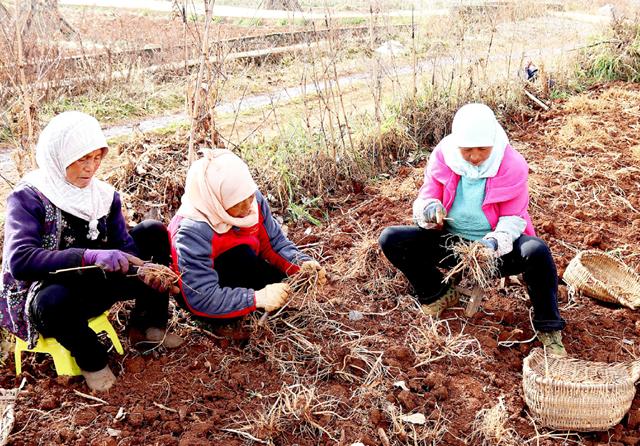 贵州省威宁自治县积极引进种植当归