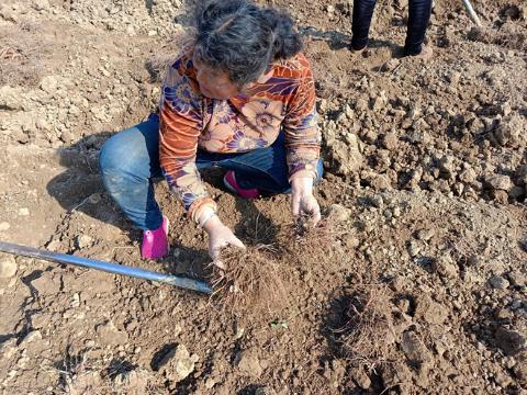 安徽亳州前李合村紫菀采挖中