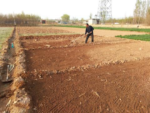 河北安国:丹参、防风种植正当时