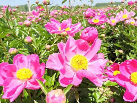 安徽亳州:白芍花开,香气自来