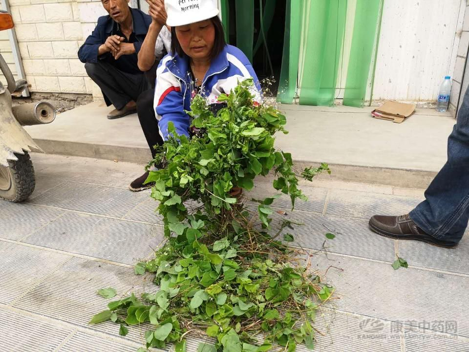 甘肃礼县:淫羊藿面临的困境