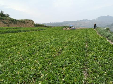 甘肃西和县:半夏产新已开始,即将迎来大丰收