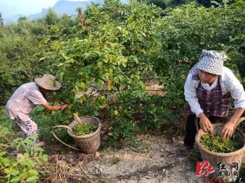 内溪乡五官村中草药种植喜获丰收