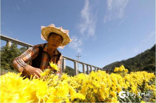 贵州龙里:千亩菊花正丰收