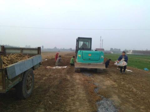 河北安国:天花粉正值产新