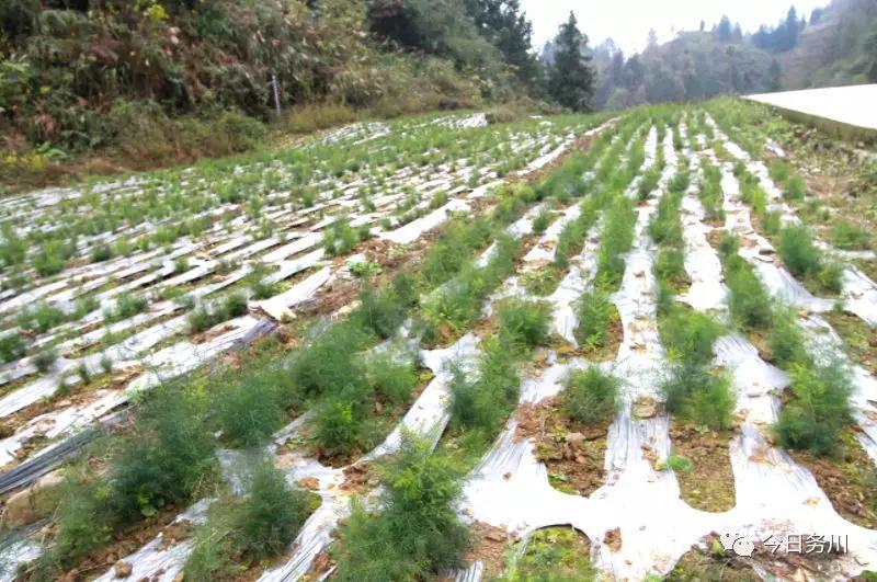 红丝乡:种植中药材 拓宽致富路