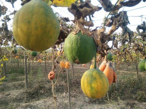 安徽霍山:瓜蒌成熟产新