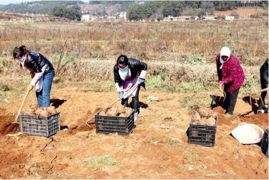 贵州省威宁自治县麻乍镇戛利村和岩格村魔芋种植示范基地迎来收获