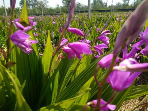 安徽亳州:白及花开迎春风