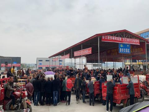 四川花园镇:麦冬新货集中上市