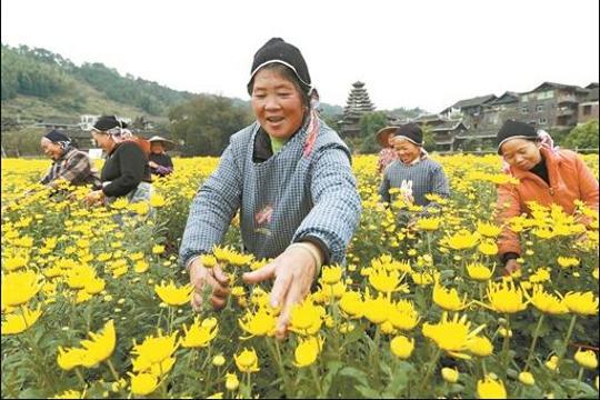 菊花绽放 农民增收