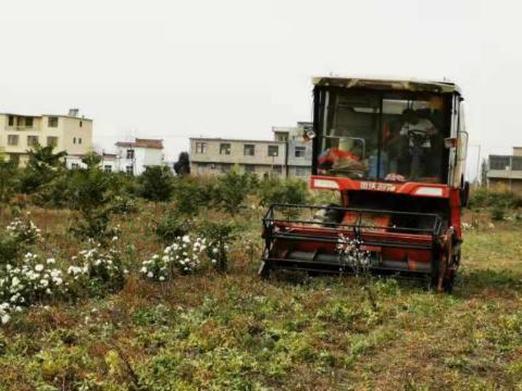 太和宫集镇:桔梗籽收割实现机械化