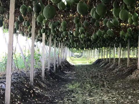 河北安国:瓜蒌加工成致富产业