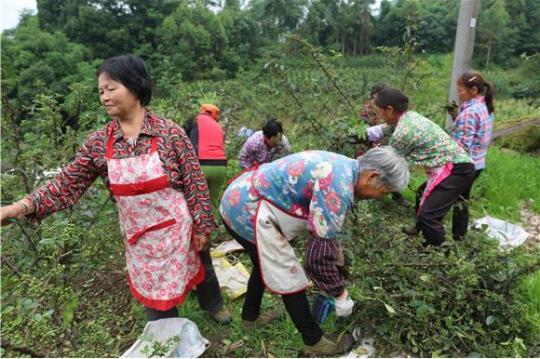 丰都社坛镇:发展花椒产业带动村民增收致富